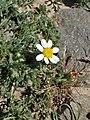 Anacyclus pyrethrum kz04.jpg