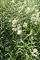 Anaphalis margaritacea kz1.jpg