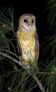 Andaman masked owl species of bird