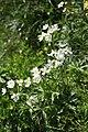 Anemone narcissiflora, Creux du Van - img 43410.jpg