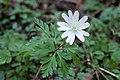 Anemone pseudoaltaica 18.jpg