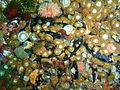 Anemones at Stonhenge Reef P4137402.JPG