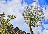 Angelica morrisonicola in Hehuan Mount DSC 1418-2.jpg