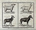 Angora goats and white footed antelopes. Etching by Thornton Wellcome V0022880.jpg