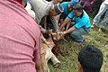 Animal sacrifice cow slaughter at Islamic festival Qurbani Kurban Kuantan 2009.jpg