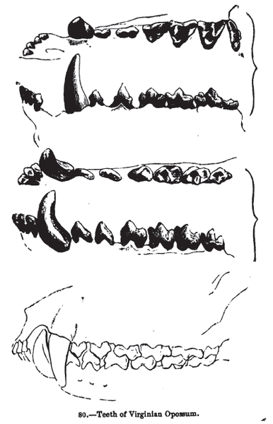 File:Animaldentition didelphisvirginiana.png