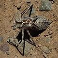 Anisoptera exuvia-1-2.jpg