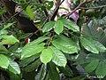 Annona montana, aticum - Flickr - Tarciso Leão (12).jpg