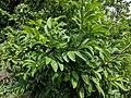 Annona squamosa 20180920 140156.jpg