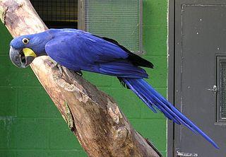 <i>Anodorhynchus</i> genus of birds