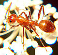 Ant Formica sp.jpg