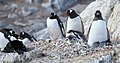 Antarctic Shag nesting beside nesting Gentoo Penguins (6063116371).jpg