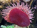 Anthozoa on glass-pink 0442.jpg