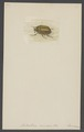 Antichira - Print - Iconographia Zoologica - Special Collections University of Amsterdam - UBAINV0274 001 06 0009.tif
