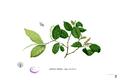 Antidesma ghaesembilla Blanco1.25.png