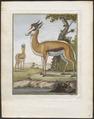 Antilope euchore - 1700-1880 - Print - Iconographia Zoologica - Special Collections University of Amsterdam - UBA01 IZ21400087.tif