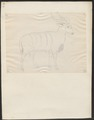 Antilope spec. - 1700-1880 - Print - Iconographia Zoologica - Special Collections University of Amsterdam - UBA01 IZ21400141.tif