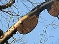 Apis dorsata - Giant honey bee on Tetrameles nudiflora on Makuta Virajpet road (3).jpg