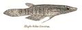 Aplocheilus lineatus Day.png