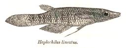 Aplocheilus lineatus Day