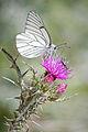Aporia crataegi - 01.jpg