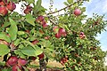 Apple orchard in Brampton.JPG