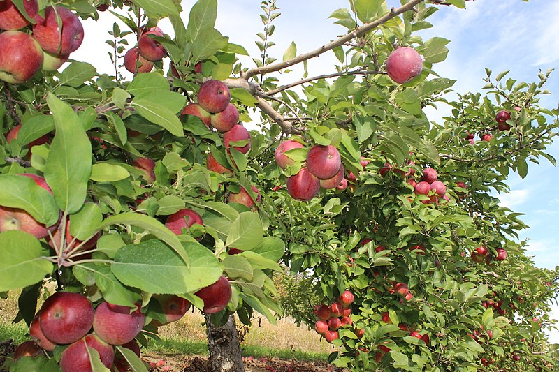 File:Apple orchard in Brampton.JPG