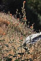 Apricot mallow plant.jpg