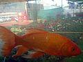 Aquarium fish23.JPG