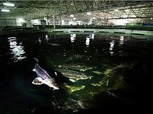 Mersin balığı çiftliği