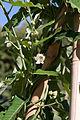 Araujia sericifera - Fleurs-2.jpg