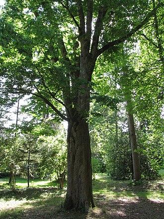 Arboretum national des Barres - Japanese zelkova planted in 1894