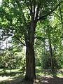 Arboretum des barres--zelkova serrata.JPG