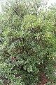 Arbousier commun-arbutus unedo-Calvisson-20140804.jpg