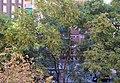 Arbres del carrer del Doctor Manuel Candela, València.jpg