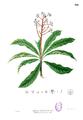 Ardisia pyramidalis Blanco1.166.png
