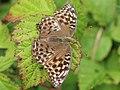 Argynnis paphia f. valesina 03.JPG