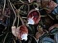 Aristolochia arborea.jpg