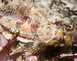 Cottidae - Artedius corallinus