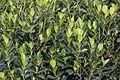 Artocarpus heterophyllus - Howrah 2012-09-20 0035.JPG