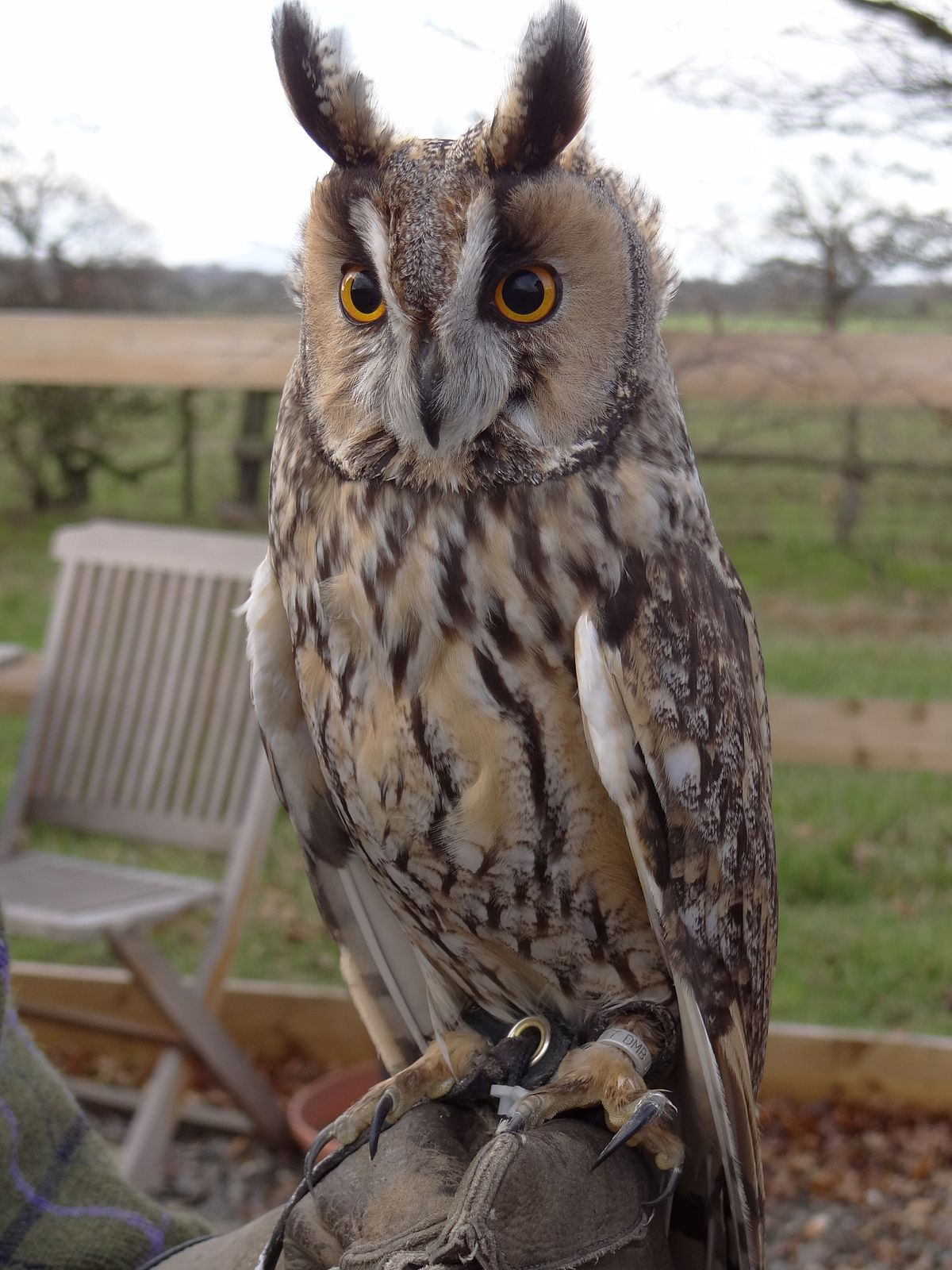 Long Eared Owl Wikipedia