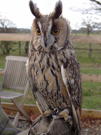 Long-eared owl - At a Falconry Centre in England