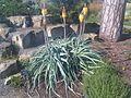 Asparagales - Kniphofia sp. 1.jpg