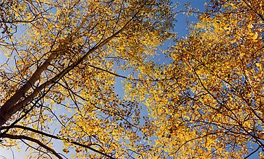 Aspens autumn yellow.jpg