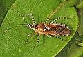 Assassin Bug - Pselliopus cinctus, Julie Metz Wetlands, Woodbridge, Virginia.jpg