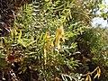 Astragalus miser (5157027998).jpg
