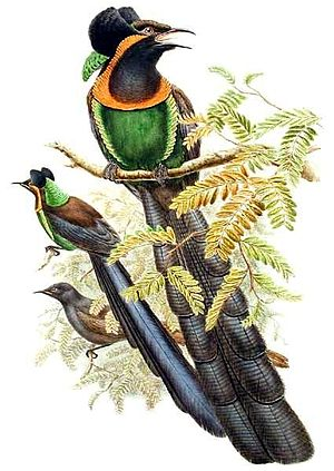 Arfak astrapia - Illustration of Astrapia nigra. Male (front) and female (behind)