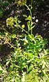 Astydamia latifolia planta.jpg