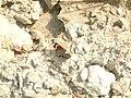 Atalanta-lepke (Vanessa atalanta)4.JPG