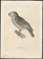 Athene superciliaris - 1700-1880 - Print - Iconographia Zoologica - Special Collections University of Amsterdam - UBA01 IZ18400039.tif